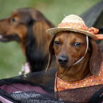 Собачий бомонд